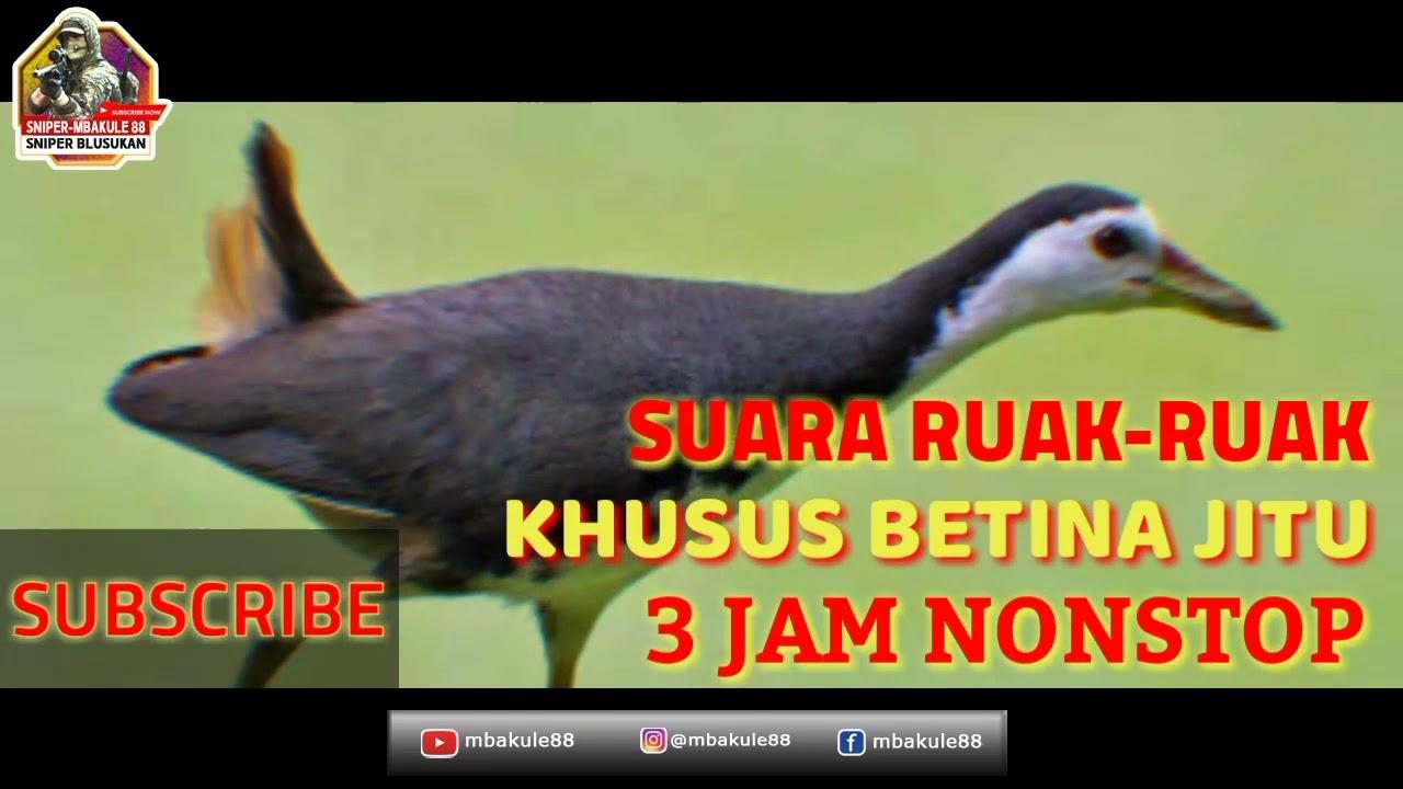 Download SUARA RUAK RUAK  BETINA PALING AMPUH TERBARU DURASI 3 JAM MANTEP 100% POINT LANGSUNG BAWA PULANG