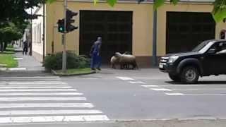 Juhterelés Gyula belvárosában - Lost Sheep in the City