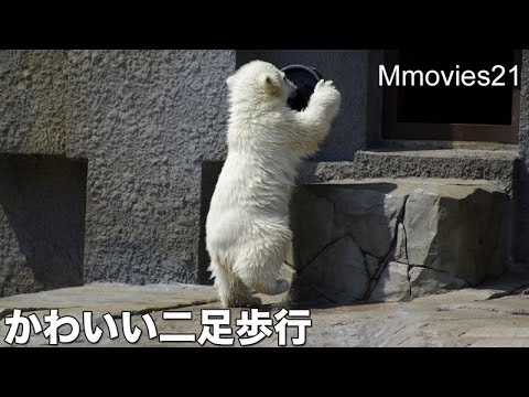 Cute ♪ First Bipedalism of Polar Bear cub~こぐまの可愛い二足歩行