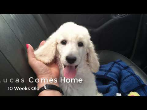 New Puppy Comes Home | Standard Poodle Owner