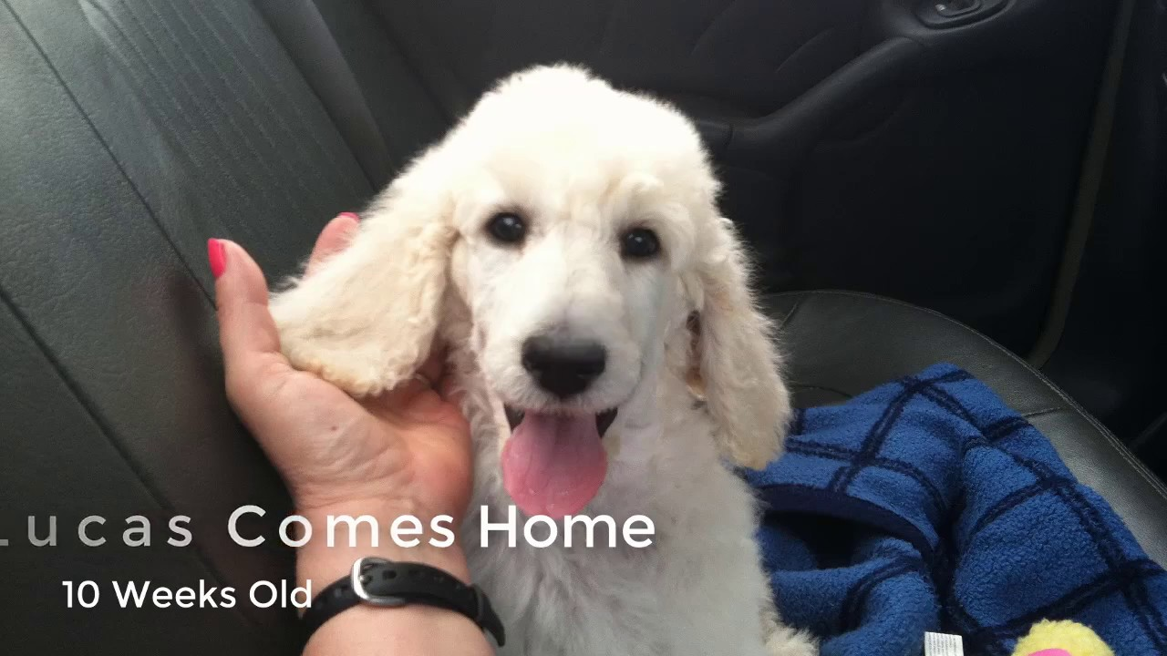 New Puppy Comes Home Standard Poodle