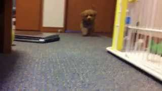 Maltese +  Toy Poodle = Malpoo     Little Dog マルプー  子犬