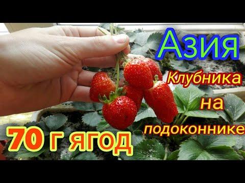 Клубника Азия на подоконнике. Сбор ягод и дегустация.