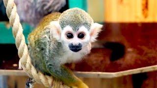 Карликовая обезьянка Саймири играет с нами