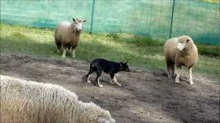 Kelpie Pup Alfie 16 Week Old First Time Herding Sheep