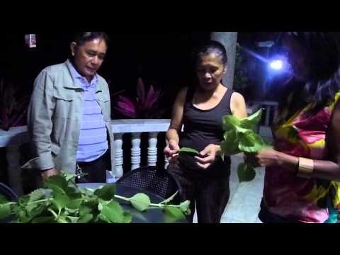 Philippine Medicinal Plant - Oregano, Grace Asagra Stanley in Batangas City, Philippines