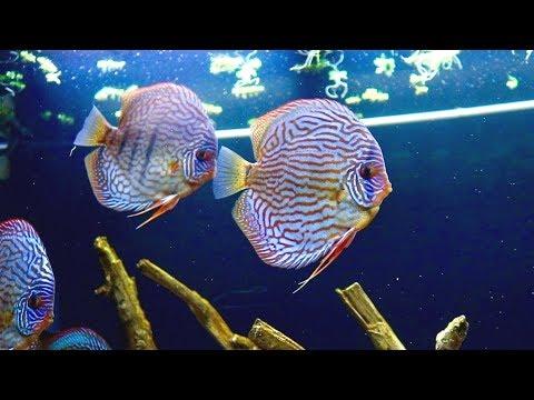 Blue Turquoise Discus Fish | Juwel Rio 400