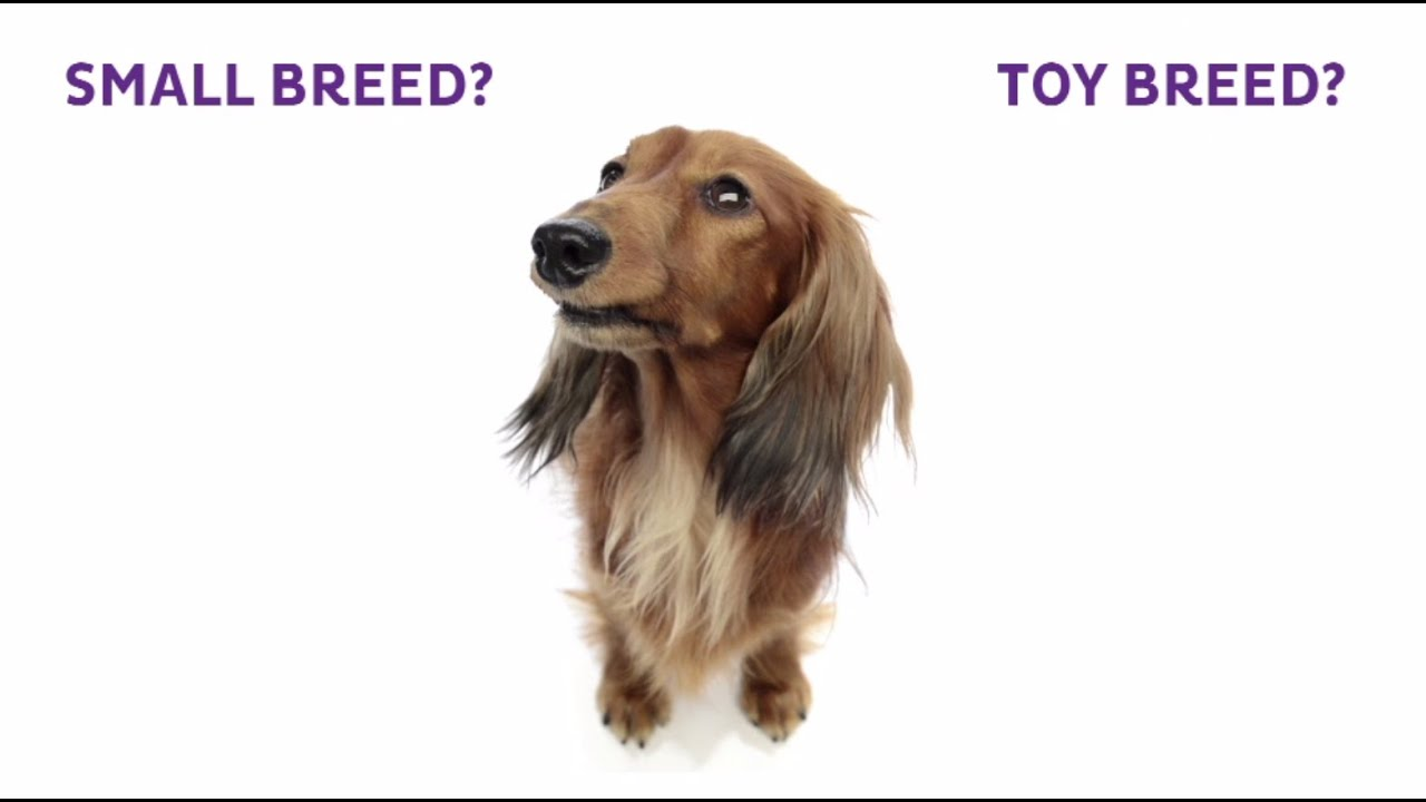 Small Toy Dog Breeds That Don