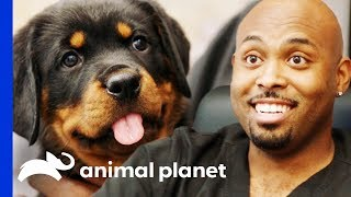 Dr Ross Just Has To Take Home An Adorable Rottweiler Pup! | The Vet Life
