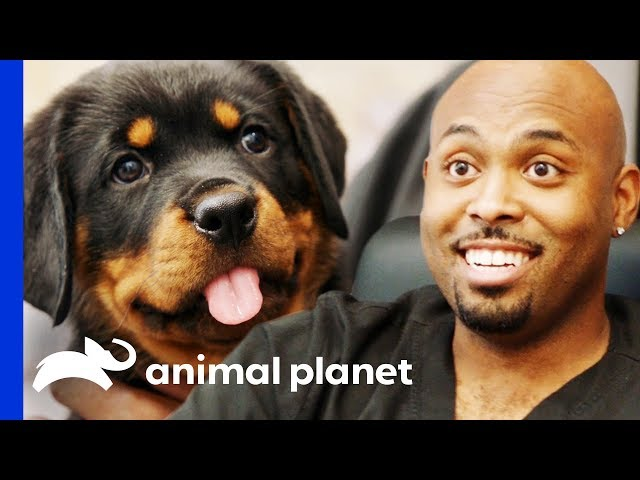 Dr Ross Just Has To Take Home An Adorable Rottweiler Pup!   The Vet Life