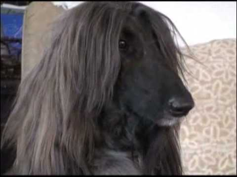 Champion Afghan hound headed for Westminster dog show