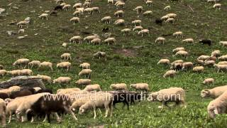 Flock of sheep in a mountain valley enroute Lamkhaga Trek