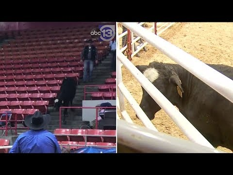 News Around The Lone Star State - Cow Escapes At RodeoHouston And Wanders In The Stands