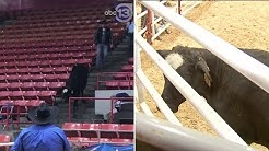 Calf gets loose at RodeoHouston, climbs into seats