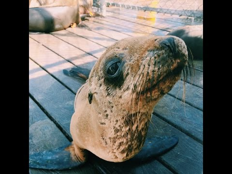 Caring for Stranded Sea Lions with CIMWI