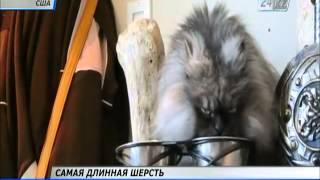 В США кот попал в Книгу рекордов Гиннесса за самую длинную шерсть