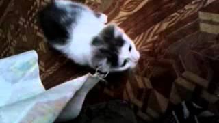Котенок мальчик  2 мес и перс взрослый мальчик ищут хозяев)
