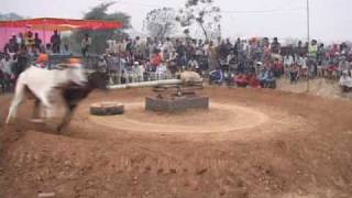 REAL REDBULL BULL OX RACING IN RURKEE.com PART-3