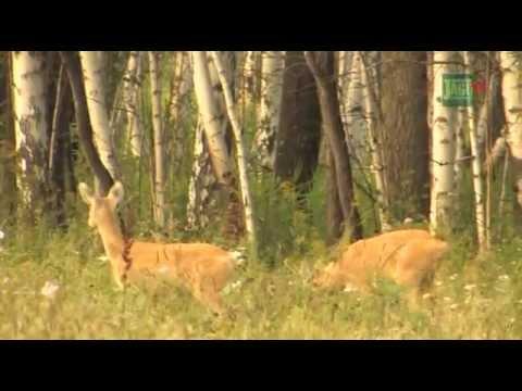 Jagd auf Sibirische Rehböcke in Kurgan