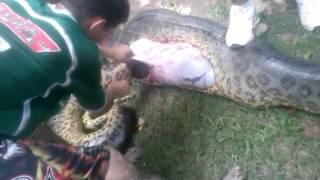 Cobra mata pitbull em Cuiabá