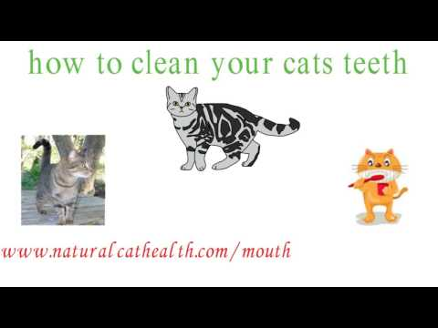 How To Clean Your Cats Teeth