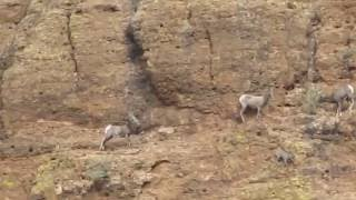 CRAZY, Big Horn Mountain sheep lose footing on EXTREMELY STEEP Mountainside