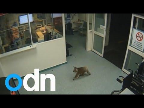 CCTV shows Koala takes himself to hospital in Australia