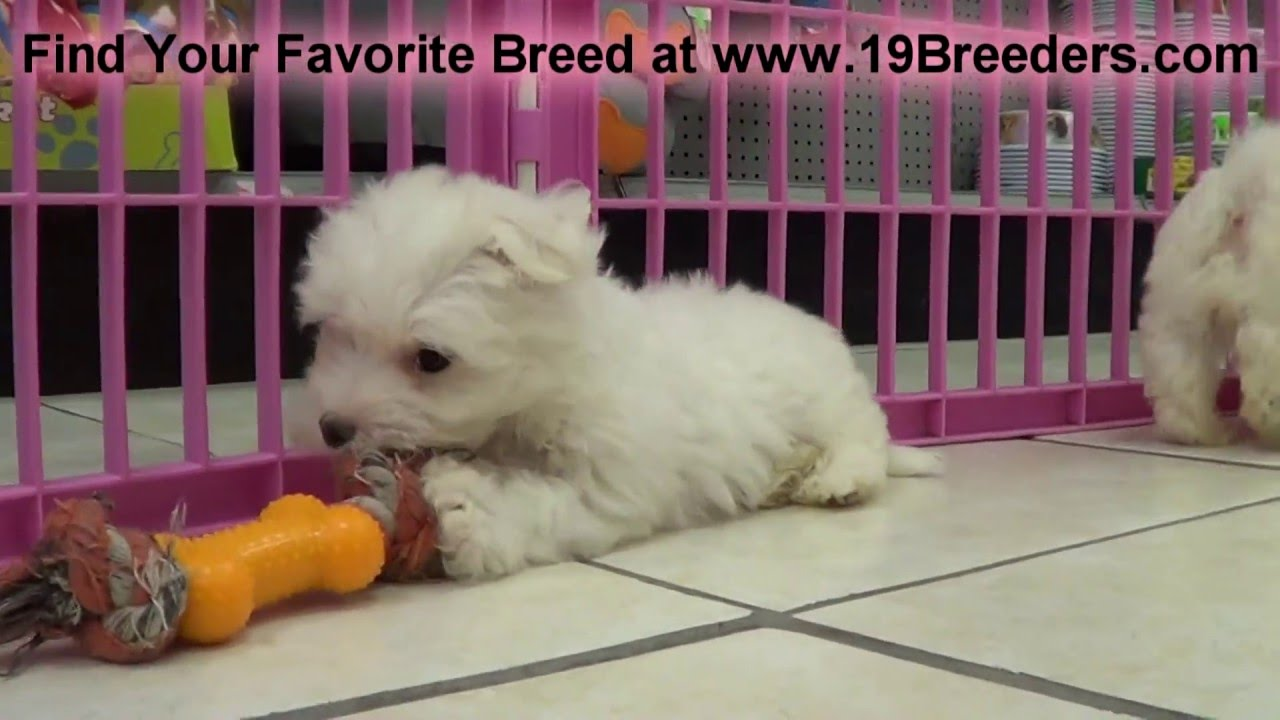 Maltese Puppies For Sale In Winston Salem County North Carolina