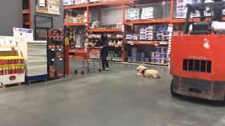 Boris (golden Retriever Puppy) At Home Depot - Raleigh Durham Dog Trainers