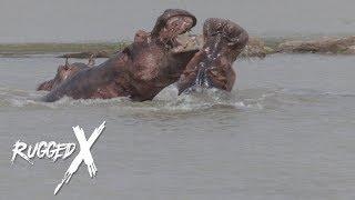 Cape Buffalo & Hippo – Tanzanian Tough Guys
