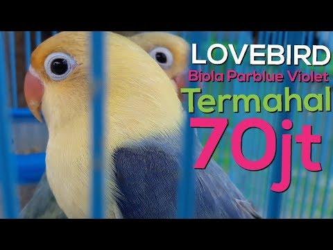 93+ Gambar Lovebird Pb Violet Paling Keren