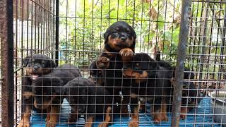50 DAYS OLD ROTTWEILER PUPPIES IN CHERTHALA