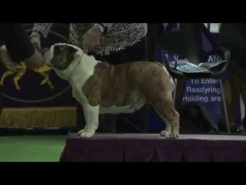ENGLISH BULLDOG - SHOW WESTMINSTER KENNEL CLUB DOG SHOW  2016