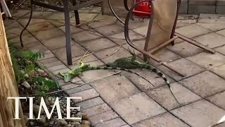frozen-iguanas-are-falling-from-trees-due-to-cold-weather-in-florida-time