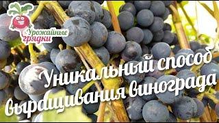 видео Особенности выращивания винограда