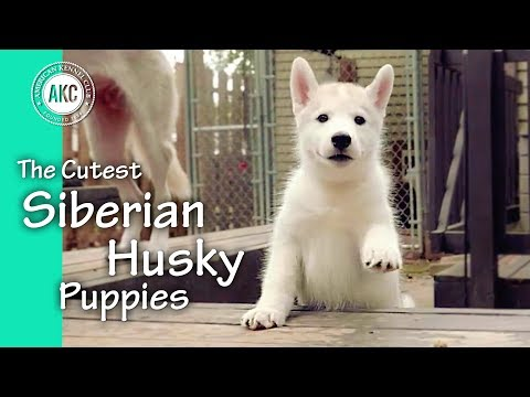 the-cutest-siberian-husky-puppies