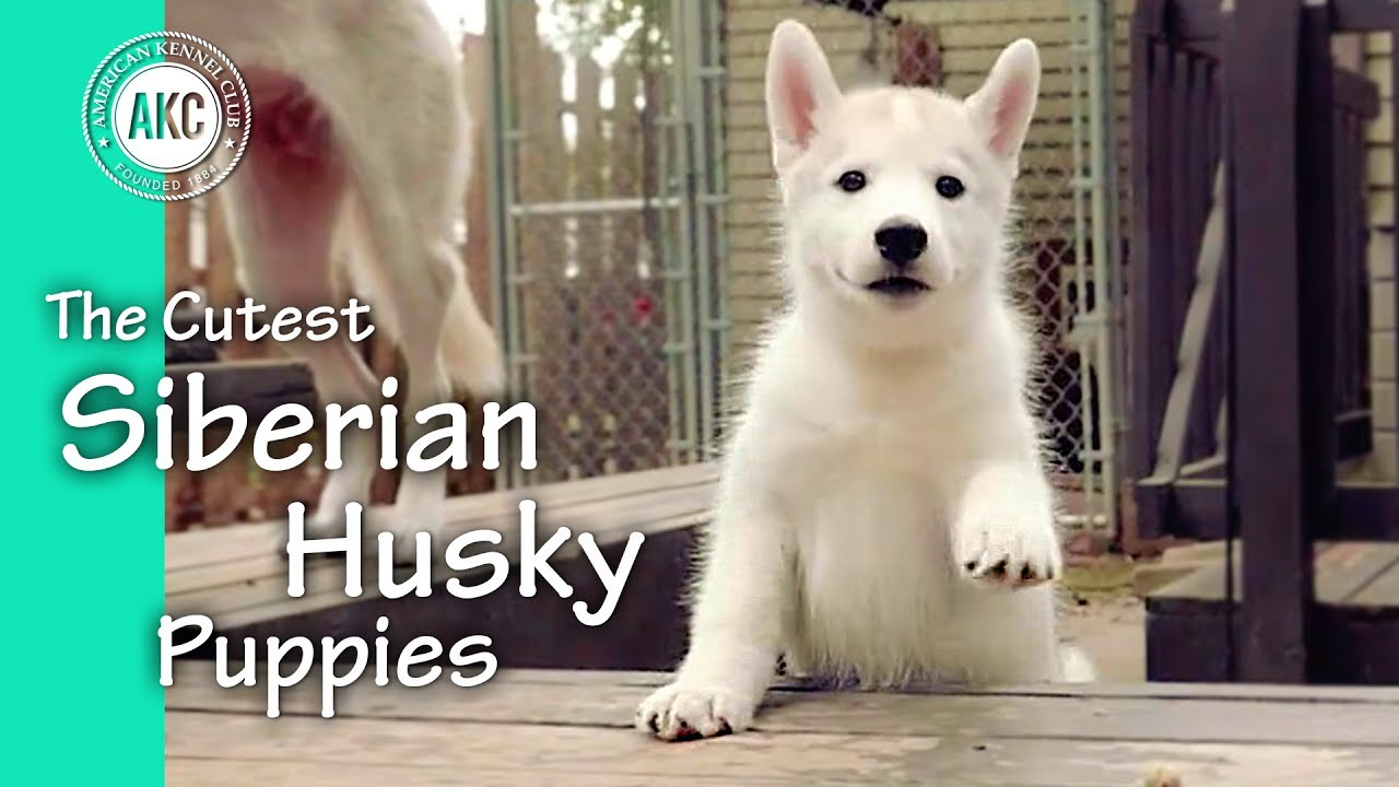 The Cutest Siberian Husky Puppies Youtube