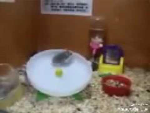 2 Hamsters, jugando como locos en 1 rueda..(😂😂😲😁)