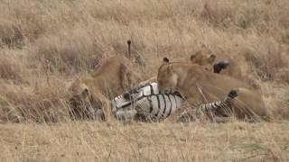 Pride of lions killing a Zebra -  Serengeti 2016