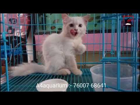Persian Cat Kitten Full HD At A4aquarium Hirawadi Ahmedabad Gujarat India