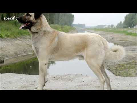 Details about Anatolian shepherd dog Specific information about animals  Animal wikipedia series