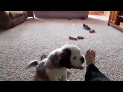Old Video of Saint Bernard Puppy and Couch Dog Training at its finest! (and laziest!)