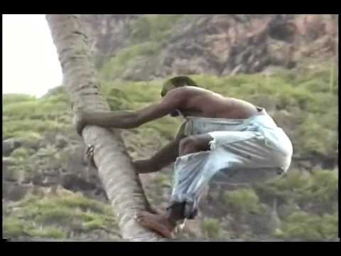 Caribbean Strong Brave Man Climbing Scary Tall Palm tree .mov