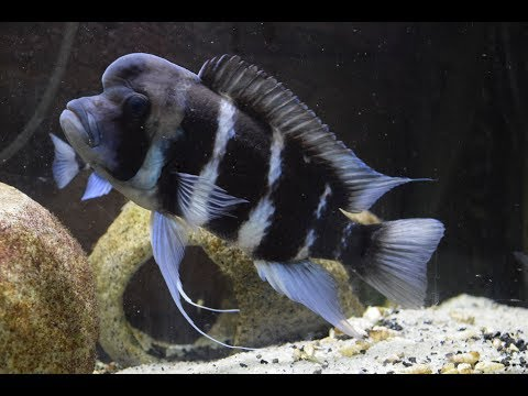 What To Feed Frontosa Cichlids!