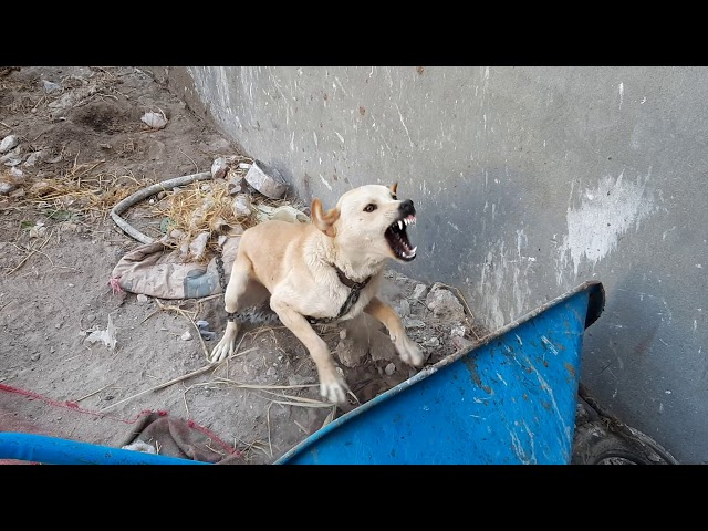 كلب بلدى جدع قوى والراجل يحله مع كابتن ابونور