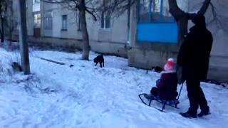 Шарпей ездовой - НОВАЯ ПОРОДА СОБАК !!!. Sharpay sled - NEW BREED OF DOG !!!
