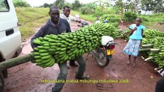 Innovation in banana cropping systems