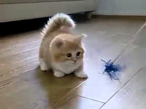 Обзор пород котов: коротконогий манчкин, японский бобтейл