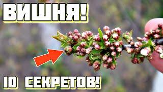 10 советов по вишне после которых дерево будет обсыпное Главное в уходе за вишней за 2 минуты