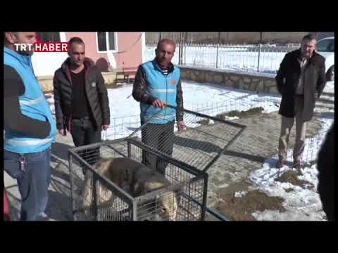 Bayburt'ta bir mahalleye inen kurt yakalandı